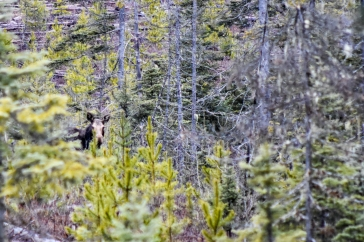 This Cow Moose was 800 meters away from the other cow in the other picture. Sisters?