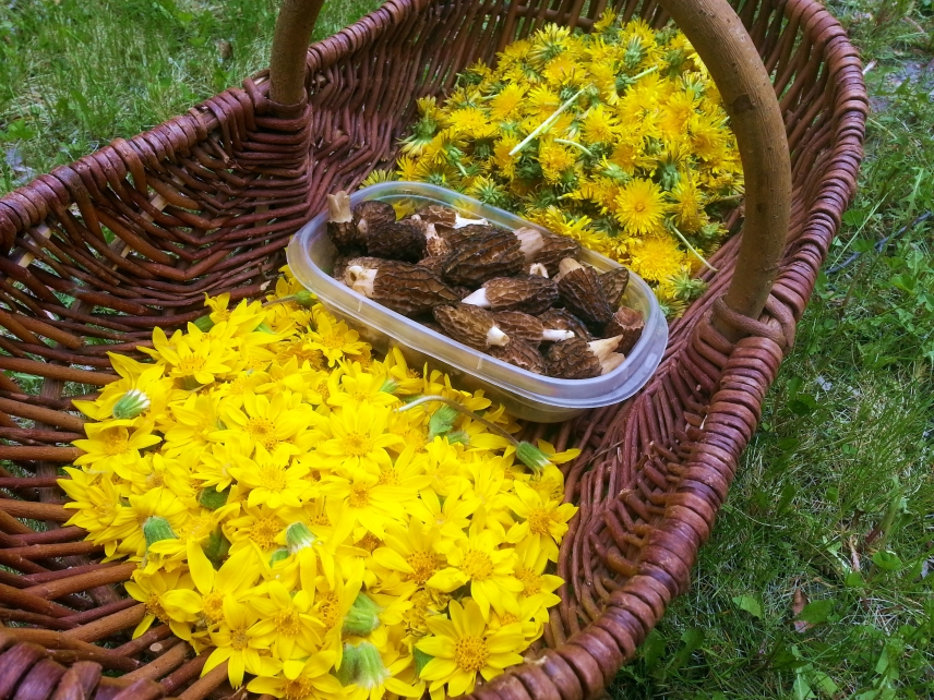 Arnica, Morels and Dandelion heads