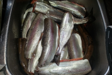 Rainbow Trout, a whole lotta 'em.