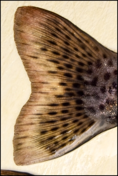 Fish Tail Fin 3