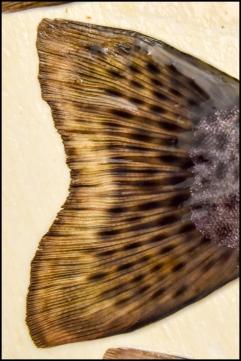 Fish Tail Fin 2
