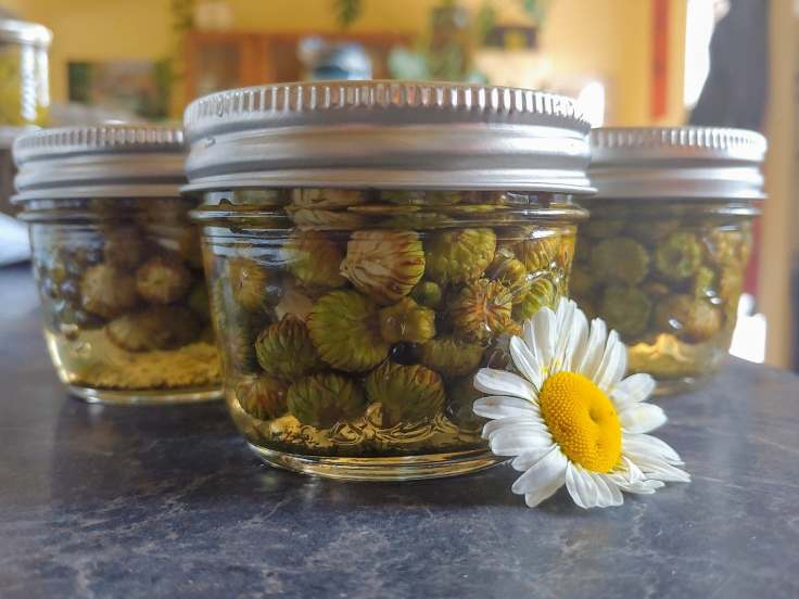 daisy dill capers